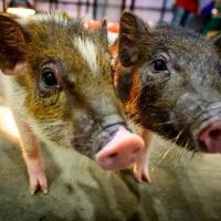 Грызуны и свиньи могут дышать через задний проход