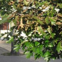 Каштановая минирующая моль и неизвестная болезнь уничтожают каштаны Гродно
