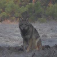 От Тэдины до Павлинки: помоги выбрать имя для молодой волчицы