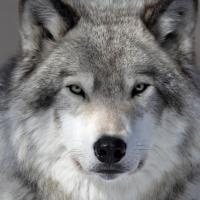 «Чем меньше стреляют, тем лучше». В Беловежской пуще продлен мораторий охоты на волков