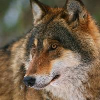 Как появляются легенды о чернобыльских волках-террористах и завышается численность хищников в Беларуси