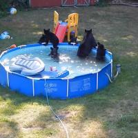 Как дети: в США черные медведи умеют скатываться с детской горки и качаться на качелях