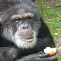 В США шимпанзе признали человеком