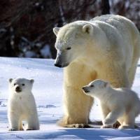 В России впервые посчитают белых медведей. Перепись закончится в 2024 году