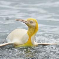 Фото дня: желтый пингвин впервые попал в объектив натуралиста