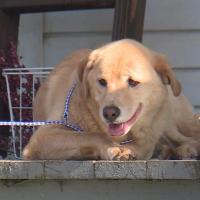 Собака прошла 80 километров, чтобы вернуться в свой старый дом