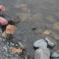 В Гродненские водоёмы вселили более 7 тонн щук, карпов и карасей