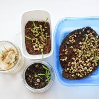 Эксперимент. Какой субстрат лучше подходит для выращивания микрозелени