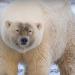 Пизли  – гибрид белого медведя и гризли. Ученые недовольны