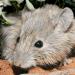 Считавшиеся вымершими мыши из Австралии оказались живыми. Их обнаружили на островах под другим именем