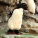 Американский зоопарк сделал ортопедические ботинки для пожилого пингвина с артритом