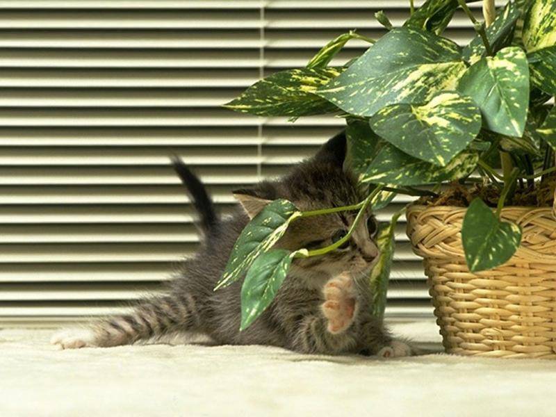 Ядовитые растения для кошек с фото
