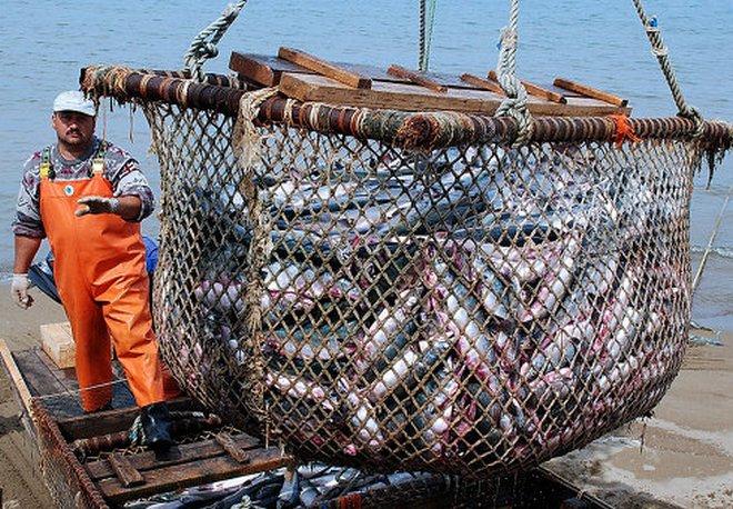 на дальнем востоке ловят кальмаров
