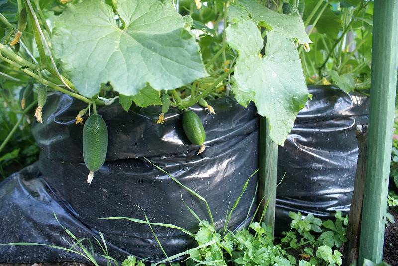 Огурцы как выращивать