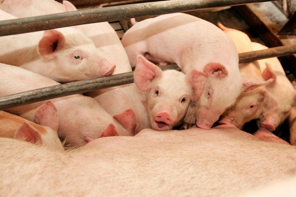 Свинокомплекс под Молодечно начали строить несмотря на протесты  Свинокомплекс под Молодечно начали строить несмотря на протесты местных жителей