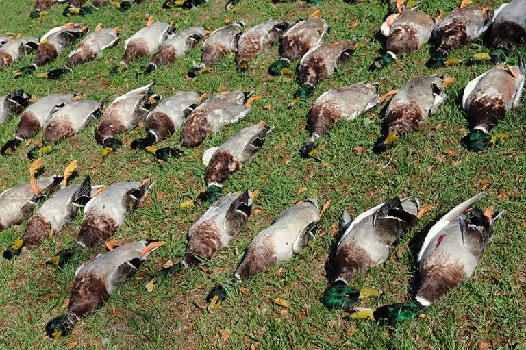 Сроки весенней охоты в Беларуси