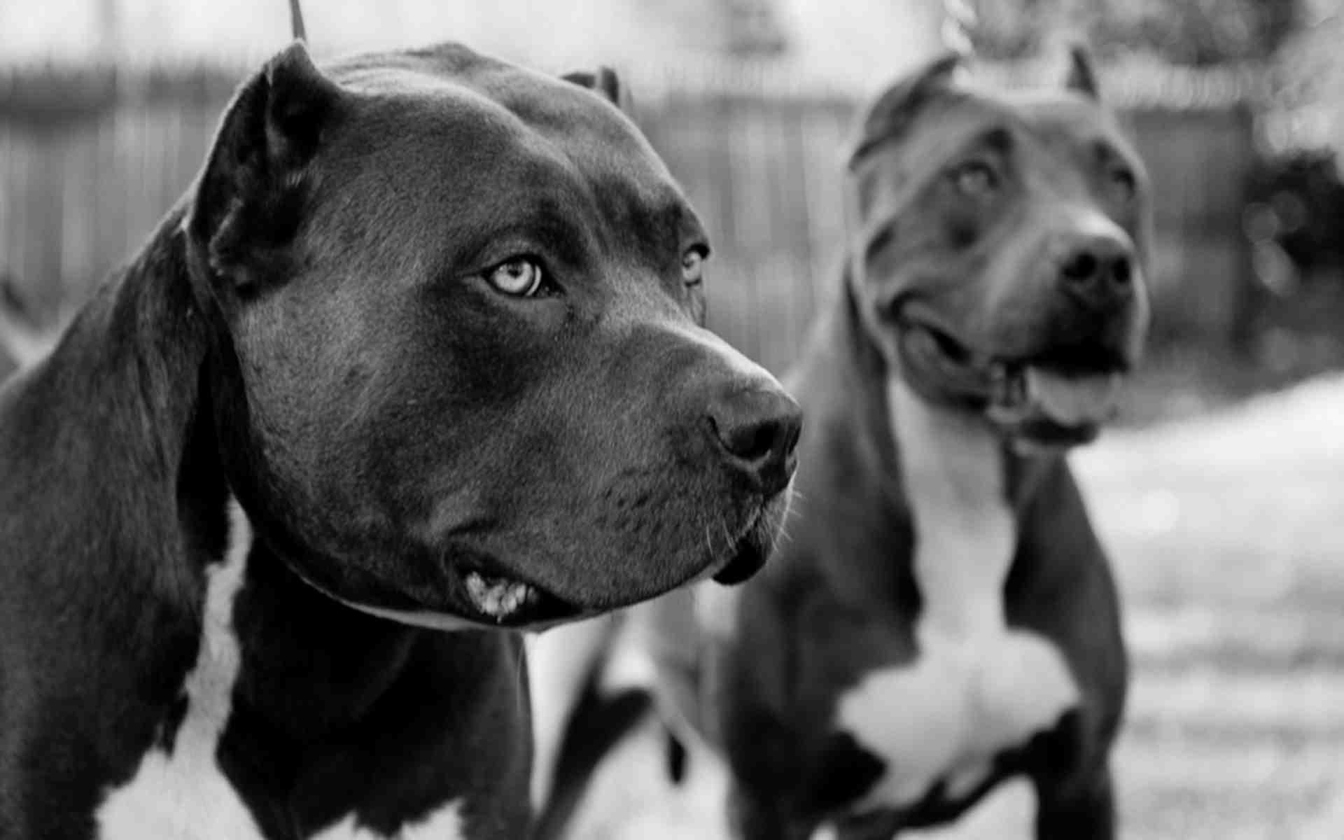бойцовые собаки обои на рабочий стол № 538574 бесплатно