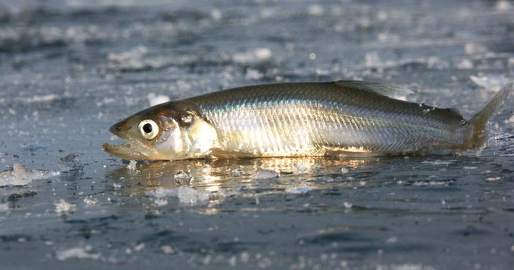 Финский залив - рыбное место у королевской дороги.