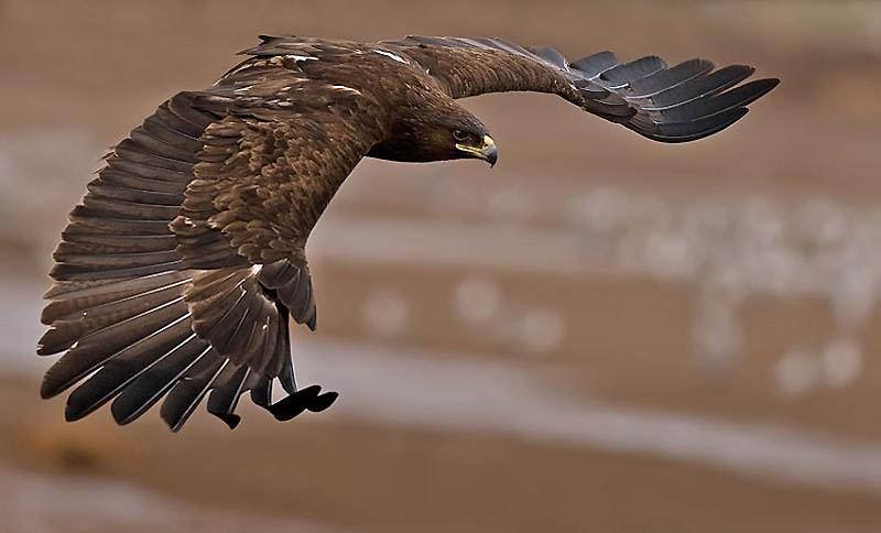 Большой подорлик - редкий болотный орел, не терпит шума и присутствия человека