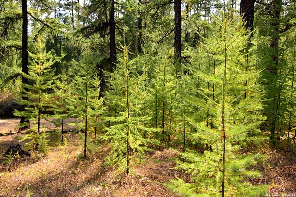лес молодой фото хвойный