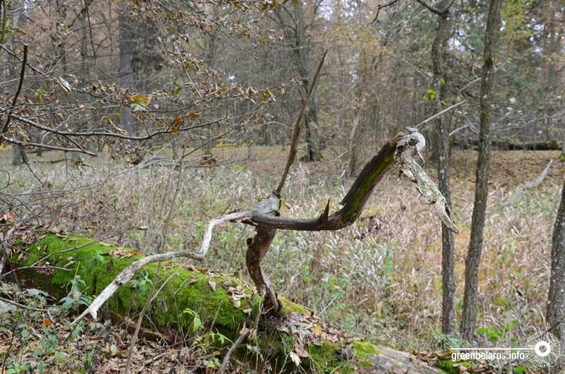 Новая угроза. Исчезнет ли ясень из Беловежской пущи?