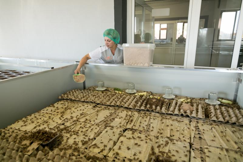 Сверчки едят. Фото с производства, предоставленное компанией