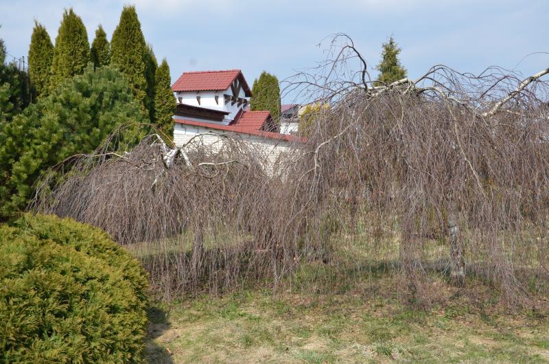 Повислые березы на штамбе, украшающие администрацию питомника «Зеленстрой» в деревне Суковичи, могут пригодиться там, где нужны низкие деревья, например возле линий электропередач. Такая береза обойдется в питомнике в 117 рублей