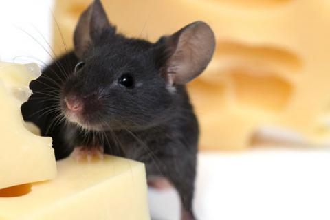 Не убивайте мышей – используйте гуманные мышеловки