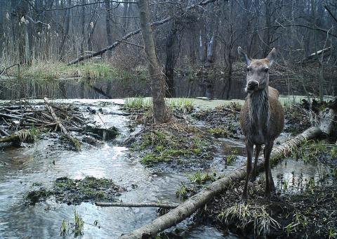 Звери с мутациями — выдумка фантазёров, или Как авария на ЧАЭС изменила фауну Полесского заповедника