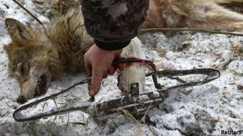 Подпишись против жестокости! Беларусов призывают поддержать петицию за отмену капканов