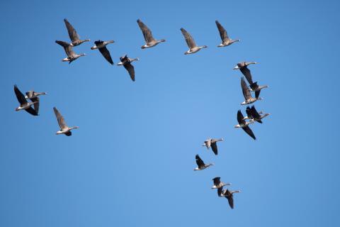 Птицы в этом году возвращаются в Беларусь «нетипично»