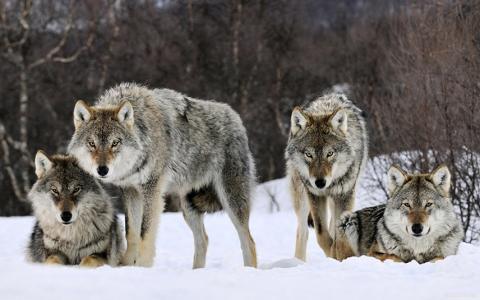 «Все еще нежелательный вид». Что ждет популяцию дикого волка в Беларуси