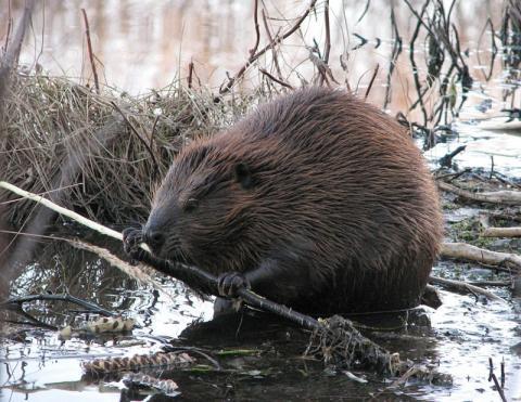 Экотуризм по-нашему: нацпарк «Браславские озёра» устраивает «Бобровое сафари»