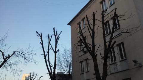 Варварская обрезка деревьев в Минске прекратится?