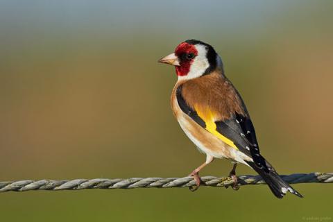 «В полевом наблюдении отличить самку от самца практически невозможно». Чем интересен черноголовый щегол – птица 2018 года?