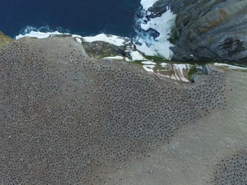 В Антарктике нашли полтора миллиона пингвинов Адели