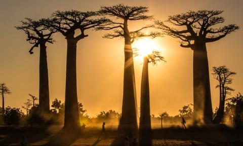 Даже Бабобабы! Почему исчезают одни из самых крупных в мире деревьев