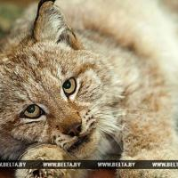 Раненый рысёнок умер в Витебском зоопарке