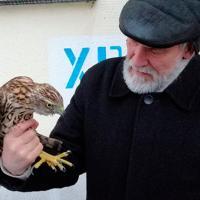 В центре Витебска спасли от ворон молодого ястреба