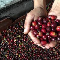 Учёные придумали, как отходы кофейного производства превращать в электроэнергию