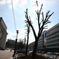 На бульваре Мулявина пилят деревья по заказу филармонии — минчане возмущены