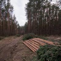 В районе Национальной библиотеки опять вырубают ценные породы деревьев