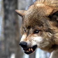 Охотников позвали на помощь: волки убивают телят в Могилёвской области