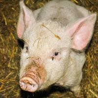 «Деревне будет капец»: под Белыничами хотят построить крупный свинокомплекс