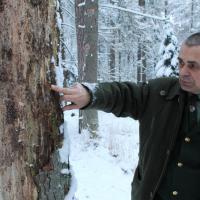 Главный лесничий опровергает слухи о вырубках в Беловежской пуще из-за короеда