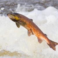 Инфоцентр по сохранению лососёвых рыб откроется в Островецком районе