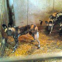 Дело о хищении щенков гиеновидных собак: директора Минского зоопарка заключили под стражу