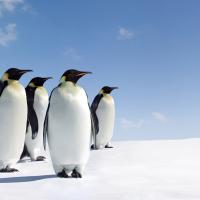 Перепись пингвинов: помогите посчитать птиц несколькими кликами мышки!