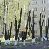 Омолаживающая обрезка в городе: зачем нам деревья «под телеграфный столб»?