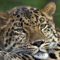 Первая в мире реинтродукция леопарда: пятнистые кошки возвращаются на Российский Кавказ